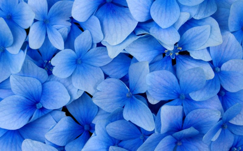 International_Womens_Day_Blue_flowers_as_a_gift_on_March_8_014465_